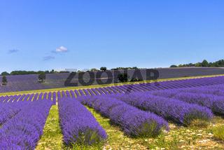 Hügellandschaft mit Lavendelfeldern bis zum Horizont und Mont-Ventoux