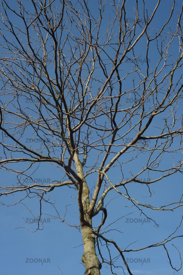 young treetop, leafless against a blue sky