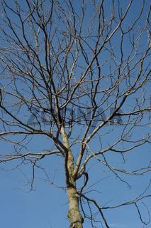 junge Baumkrone, blattlose vor blauem Himmel