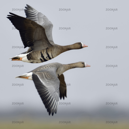 White-fronted Geese * Anser albifrons *, pair in flight