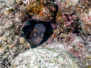 Gelbgefleckte Muraene (Gymnothorax flavimarginatus)