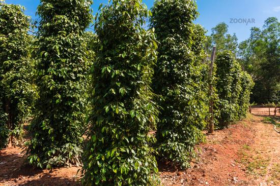 The plantation is famous pepper. Vietnam.