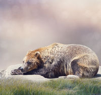 Brown Bear Resting,close up shot