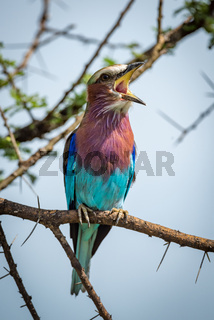 Lilac-breasted roller on branch with open beak