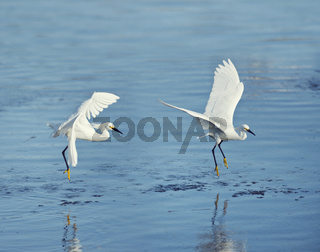 Snowy Egrets in flight over lake