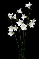Weiße Glockenblume (Campanula) auf schwarzem Hintergrund