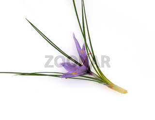 Safran, Crocus sativus, Heilpflanze
