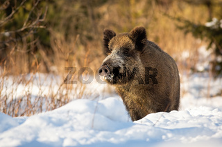 Happy wild boar standing in snow at wintry sunrise looking around with snout up