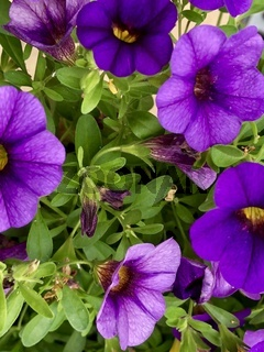 Lila Minipetunien Blüten