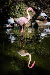 Flamingo One Leg Standing Water Pink Reflection Symmetric Pond Lake Zoo Exotic Animal Bird Looking at Camera