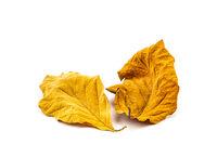 Dry Teak Leaf texture