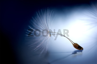 Beautiful dandelion seed macro with reflection. Dark and Soft light blue background. Abstract artistic image template. Copy space. Spring nature