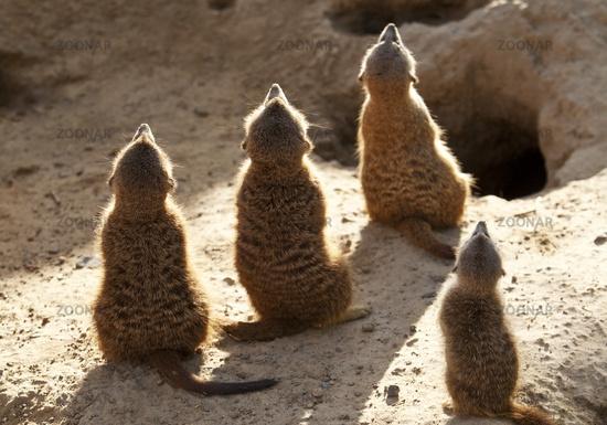 suricate, slender-tailed meerkat (Suricata suricatta)