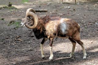 European mouflon, Ovis orientalis musimon. Wildlife animal.