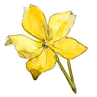 Watercolor yellow flax flower. Floral botanical flower. Isolated illustration element.