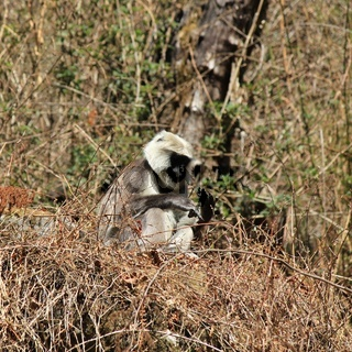 Sitting grey langur monkey photographed in the Langtang National Park, Nepal.