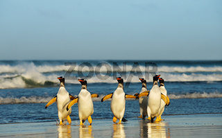 Group of Gentoo penguins coming from Atlantic ocean