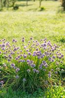 Purple blooming chives on a sunny vegetable garden bed