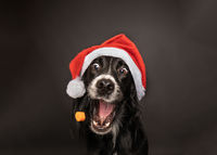 Christmas portrait of a black Irish Setter catching a treat wearing a red and white santa claus hat with happy, excited expression.