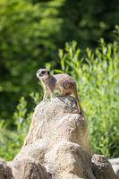 Portrait of Meerkat (Suricata suricatta) Watching the Area