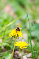 Bumblebee Sitting on a Yellow Dandelion Flower