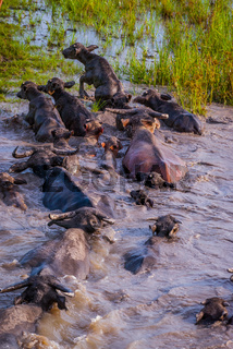 Herd of water buffalos in the water