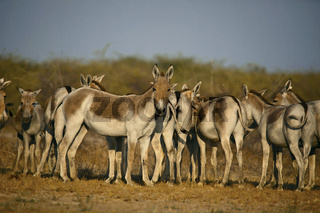 Asiatic Wild Ass, Equus hemionus khur, Little Rann of Kutch, Gujarat
