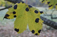 Maple in autumn colors