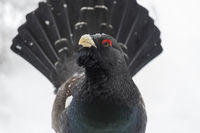 Male Western Capercaillie Wood Grouse, Tetrao urogallus