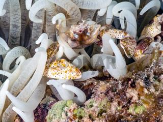 Porzellankrabbe (Neopetrolisthes spinatus)