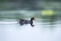 moorhen on lake