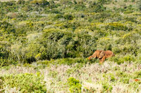 Elephant standing and eating between all the bushes