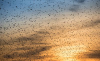 Swarm of birds at autumn evening