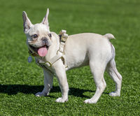 White puppy female Frenchie standing and looking back.