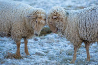 Two sheep sticking their heads together on a frosty winter morning their fur covered in ice and snow