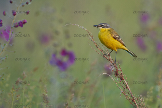 Western yellow wagtail in Hungary