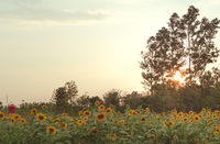 Rural countryside Sunflower farm plantation with warm summer sunset travel destination