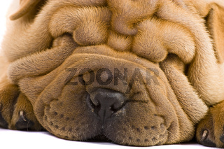 Purebred beige sharpei puppy dogs
