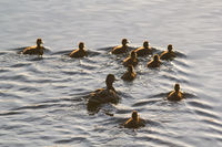 Wild duck female with her ducklings swimming in lake