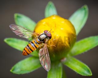 Bee on flower bud