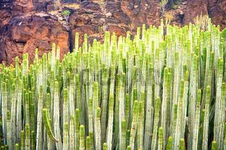 Close-up view of spurge cactus