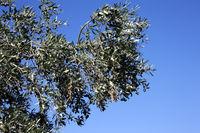Olive tree (Olea europaea) with ripe fruits