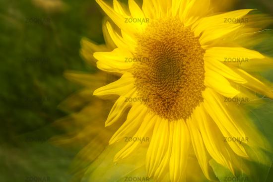 Head of Sunflower zoomed