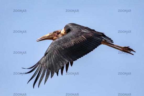 The marabou stork Ethiopia Africa wildlife