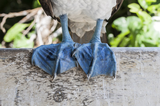 Fuesse eines Blaufusstoelpel, Sula nebouxii