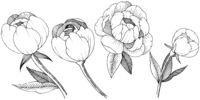 Peony in a vector style isolated.