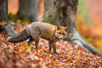 Cute adult red fox in winter coating facing camera in forest in autumn.