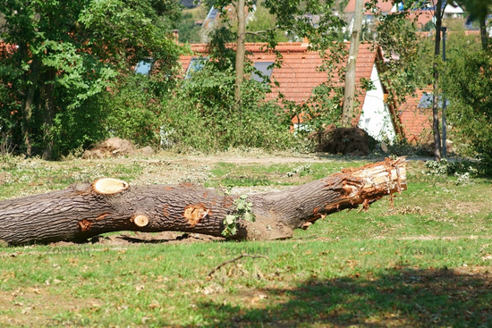 Sawed tree trunk after a storm