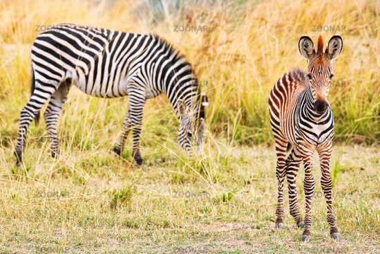 Plains Zebras with a young one, South Luangwa National Park, Zambia, (Equus quagga)
