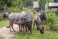 Water buffalos by the road, Laos